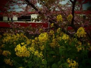 河津桜と菜の花と京急のコラボ